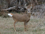 Whitetail Buck #2013-1141