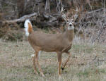 Whitetail Buck #2013-1122