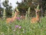 Whitetail Deer Fawns #2